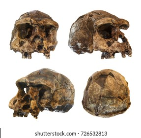 Set of Homo erectus skull . Discovered in 1969 in Sangiran , Java , Indonesia . Dated to 1 million years ago . ( front . side . oblique . back view )