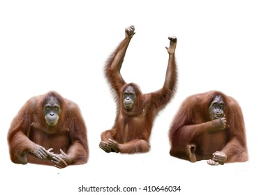 Set of image orangutan isolated over white background
