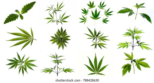 A set of images of plants and leaves of marijuana. Isolated on white background.