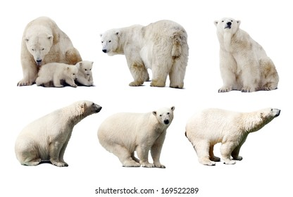 Set of images of polar bears. Isolated over white background with shade