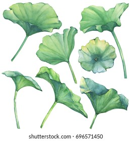 Set with Indian lotus leaves (water lily). Watercolor hand drawn painting illustration isolated on white background.