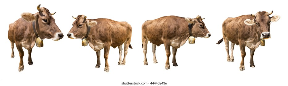 set of isolated brown cows on white background