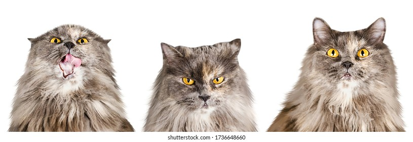 Set of isolated cute British cats and kittens in different emotions and poses in cartoon style - Shutterstock ID 1736648660