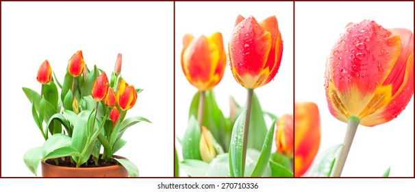 set of isolated images tulips