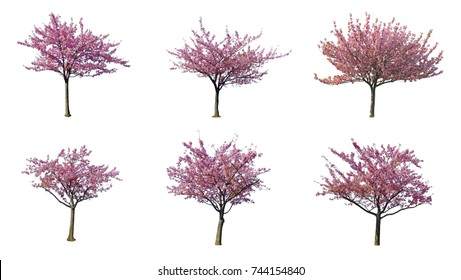 set of Japanese Full bloom pink cherry blossoms or sakura flower tree isolated on white background.