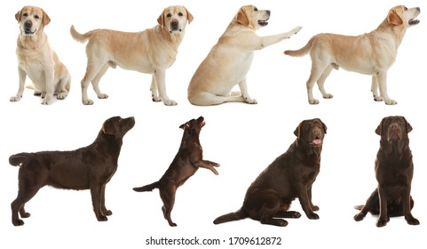 Set of labrador dogs on white background
