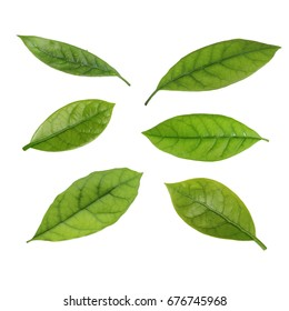 set of leaves of avocado isolated
