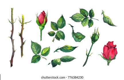 Set of leaves, buds, stems of red rose flower. Watercolor botanical illustration, isolated on white background