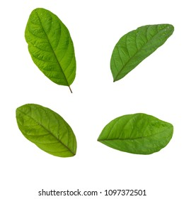 set of leaves of guava isolated on white background