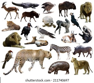 Set of  leopard and other African animals. Isolated over white background