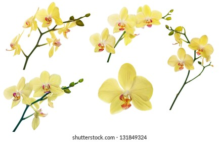 set of light yellow orchid flowers isolated on white background