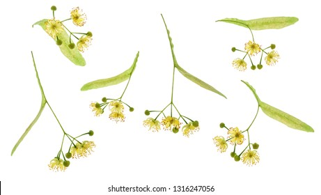 Set of Linden flower isolated.Linden flowers bloom with leaves and petals isolated on white background.