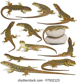 Set of lizards isolated on a white background.