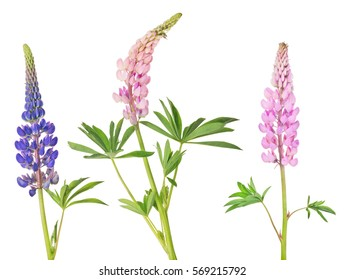 set of lupine flowers isolated on white background