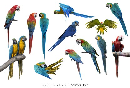 Set of macaw bird isolate on white background