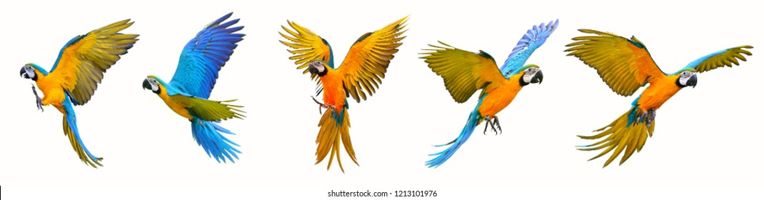 Set of macaw parrot isolated on white background