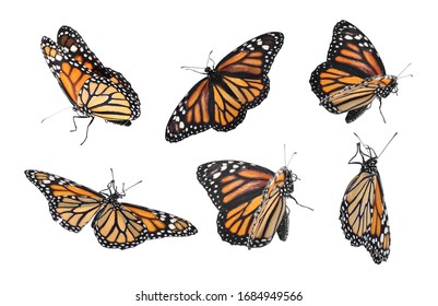 Set of many flying fragile monarch butterflies on white background