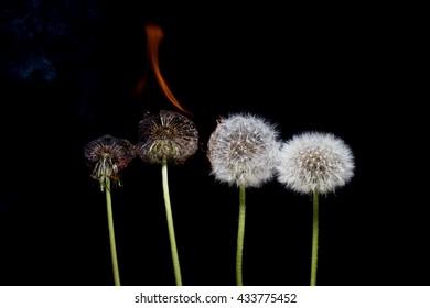 Set on fire dandelion on a black background.