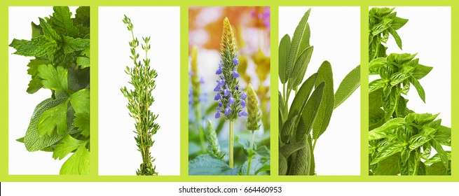 Set of organic healthy herbs basil, sage, chia, thyme,  parsley and mint as a panoramic banner