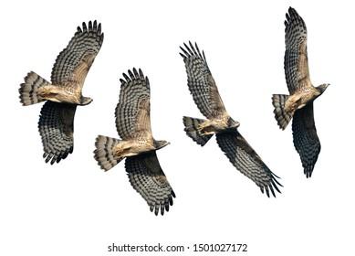 Set of oriental honey buzzards flying isolated on white background