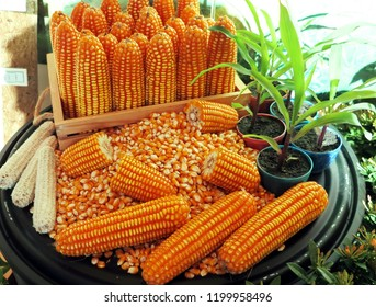 A set of perfect maize cobs with kernels and seedling in a small pot were showed at the maize conference.