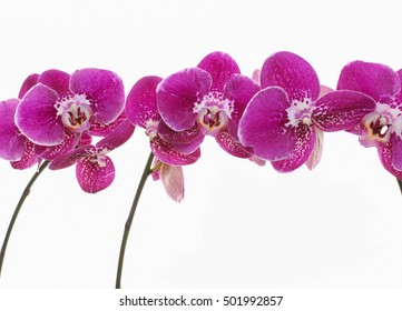 Set of phalaenopsis orchid branch isolated