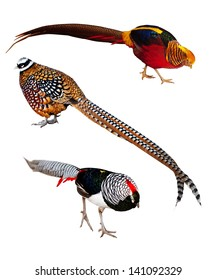 Set of Phasianidae birds. Isolated over white background. It's Golden pheasant, Reeve's Pheasant and Lady Amherst's pheasant