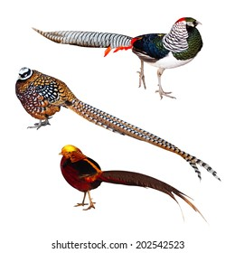 Set of Pheasant birds. Isolated over white background. It's  Lady Amherst's pheasant,  Reeve's Pheasant  and Golden pheasant