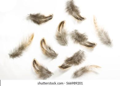 Set of Pheasant feathers on white background
