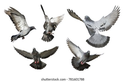 Set of pigeons flying isolated on white background