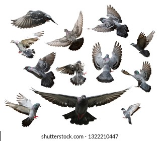 Set of pigon in flight isolated on white background