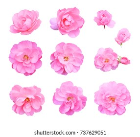 Set of pink climbing roses, isolated on white background with clipping path.