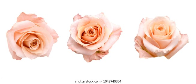 set of pink rose head isolated