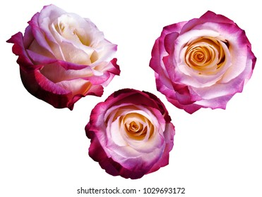 Set pink-white-yellow roses on a white isolated background with clipping path.  No shadows.  Closeup.  Nature.
