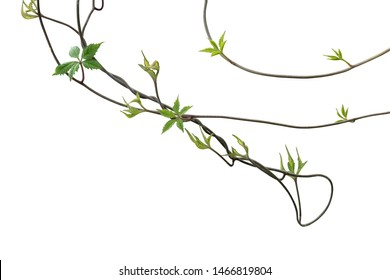 Set of plant leaves tropic creeping plant isolated on white background. Clipping path