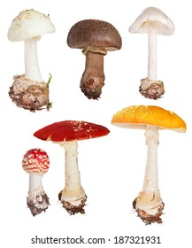 set of poisonous fly agaric mushrooms isolated on white background