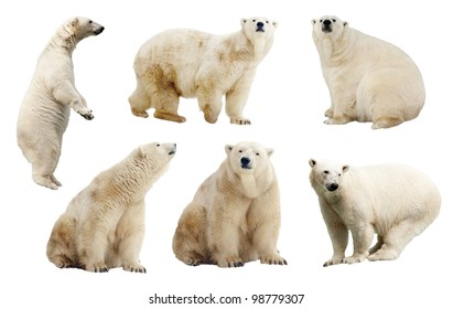 Set of polar bears. Isolated over white background