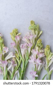 Set of Polianthes tuberose and buds  isolated on gray background  with space for text