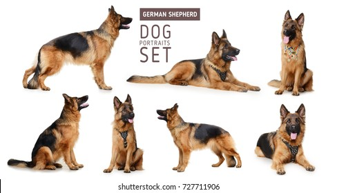 Set of Portraits of Fluffy German Shepherd Dog.