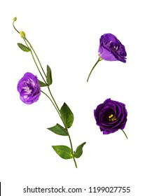 Set of purple eustoma flowers (prairie gentian) isolated on white background.  Flower heads shot at different angles, twig with buds. Side and front view.