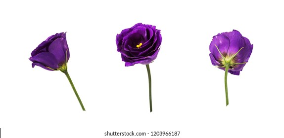 Set of purple eustoma flowers (prairie gentian) isolated on white background.  One flower head shot at different angles. Side, front, rear view.