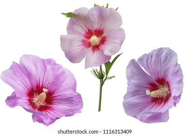 Set of purple hibiscus flowers isolated on white background