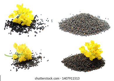 Set of rapeseed plants with yellow flowers and seeds. Yellow mustard plant. Set canola seeds and fresh canola flowers isolated on white background. Canola flower and canola isolated on white.
