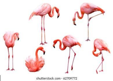 Set of red flamingo isolated on white background