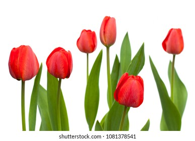 Set of red tulips. flowers isolated on the white background