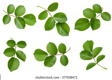 Set of rose leaves