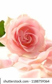 Set of rose with petals