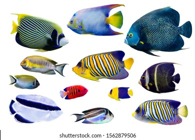 Set of Saltwater angelfish on white isolated background with clipping path such as french, regal, emperor and queen