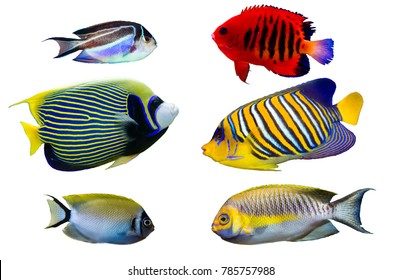 Set of Saltwater angelfish on white isolated background. Emperor, Flame, Bellus, Regal and Japanese swallowtail angelfish