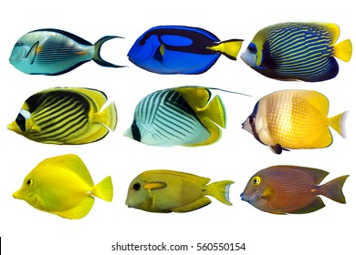 Set of sea nr.1- reef fish on white background